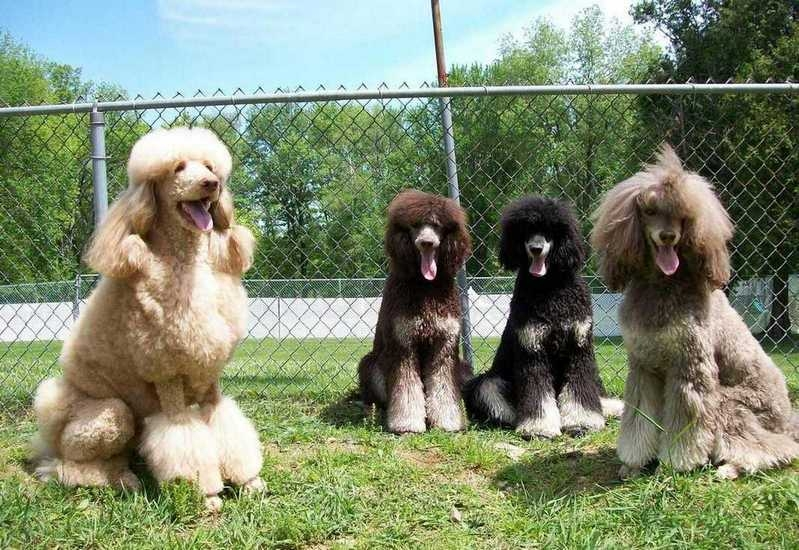 Swift Water Standard Poodles Merrimac Ma